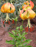 The Carolina Lily:  Michaux's Discovery Still Prized by Gardeners