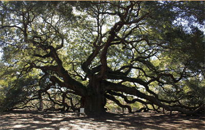 SouthernEdition.com  Southern Live Oaks:  Nature's Great Survivors
